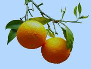 Appelsiinit-MYT-52019
